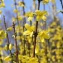 Image of Kvete zlatý déšť, ostříhejte růže | Dům a zahrada info