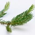 Image of Vianočný stromček je cenná surovina | Moja záhradka